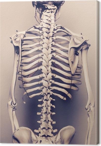 Leinwandbild Menschliches Skelett Die Rückseite Wirbel • Pixers ...