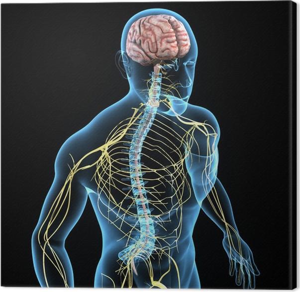 Leinwandbild Nervensystem • Pixers® - Wir leben, um zu verändern