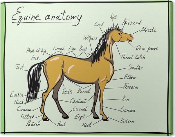 Leinwandbild Pferde-Anatomie • Pixers® - Wir leben, um zu verändern