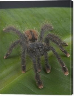 Leinwandbild Pinktoe tarantula / Avicularia avicularia