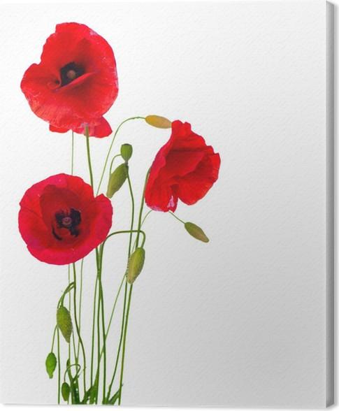 Leinwandbild Red Poppy Blume auf einem weißen Hintergrund • Pixers ...