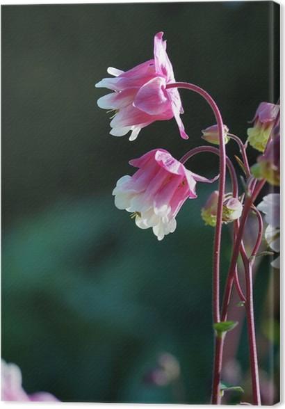 Leinwandbild Rosa und weiße zweifarbige Blumen columbine • Pixers ...