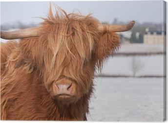 Leinwandbild Schottisches Hochlandrind Kuh