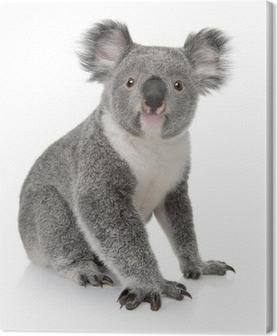 Leinwandbild Seitenansicht der jungen Koala, Phascolarctos cinereus, sitzen
