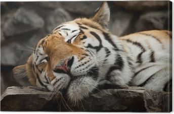 Leinwandbild Sleeping Tiger