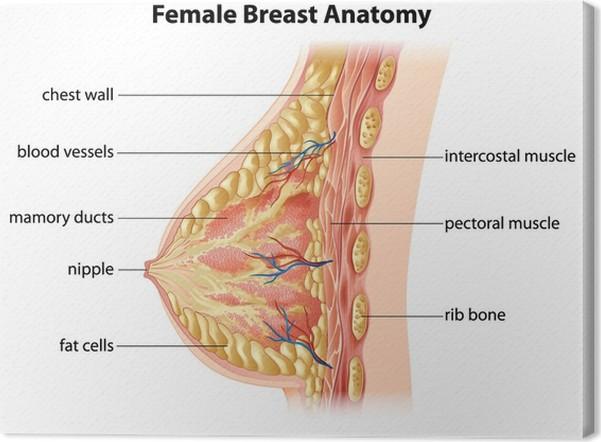 Leinwandbild Weibliche Brust Anatomie • Pixers® - Wir leben, um zu ...