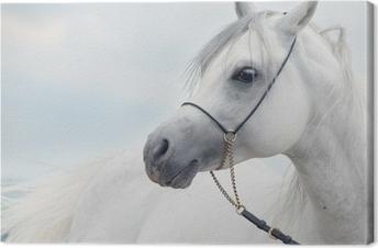 Leinwandbild Weiches Portrait der weißen wunderbare arabischen Hengst am Himmel backgr