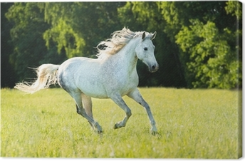 Leinwandbild Weiße arabische Pferd läuft Galopp in den Sonnenuntergang Licht