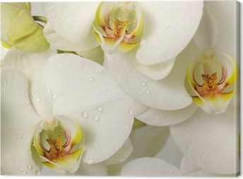 Leinwandbild Weiße Orchideen