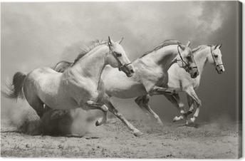 Leinwandbild Weiße Pferde im Staub