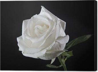 Leinwandbild White rose