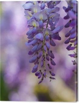 Leinwandbild Wisteria in voller Blüte