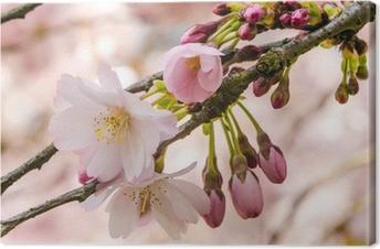 Leinwandbild Zartheit: Nahaufnahme Japanischer Kirschblüte :)