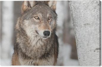 Lerretsbilde Grå Wolf (Canis lupus) Ved Birch Tree