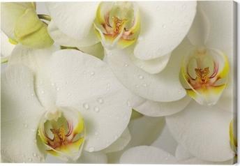 Lerretsbilde Hvite orkideer
