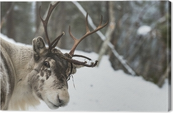Lerretsbilde Reineren står i snøen