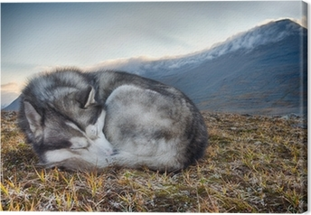 Lerretsbilde Sover sibirisk husky i fjellet
