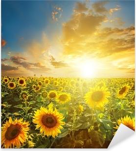Naklejka Pixerstick Letni krajobraz: sunset piękno nad polem słoneczniki