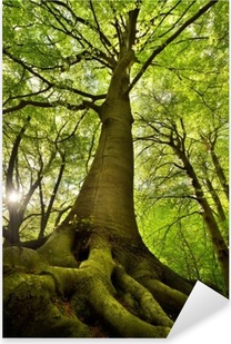 Naklejka Pixerstick Stare drzewo buk
