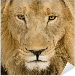 Naklejka Pixerstick Zbliżenie na głowę lwa (4 i pół roku) - Panthera leo