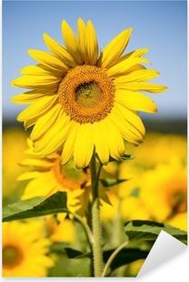 Naklejka Pixerstick Żółty słonecznik pole nad błękitne niebo na Ukrainie