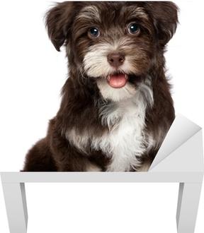 27a30c7294a Fototapeta Funny úsměvem černá s pálením havanský psík štěně • Pixers® •  Žijeme pro změnu