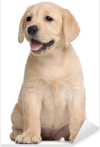 Nálepka Pixerstick Labrador štěně, 7 týdnů, v přední části bílém pozadí