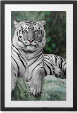 Obrazek w ramie Biały tygrys na skale w zoo