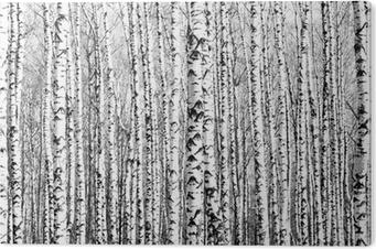 Obraz na PCV Wiosenne pnie brzozy czerni i bieli