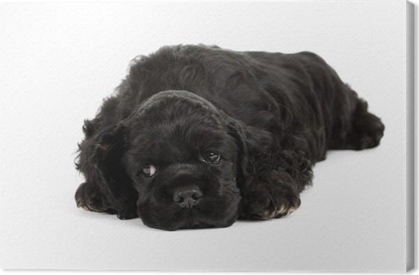 Obraz na plátně Americký kokršpaněl štěně spí. Na bílém. - Savci