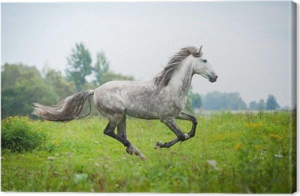 Obraz na plátně Andaluský hřebec běží na pastviny na podzim - Individuální sporty