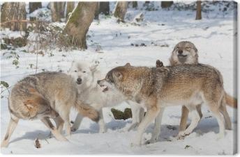 71fb75c5ec Obraz na plátně Boj dřevo vlky v lese v zimě