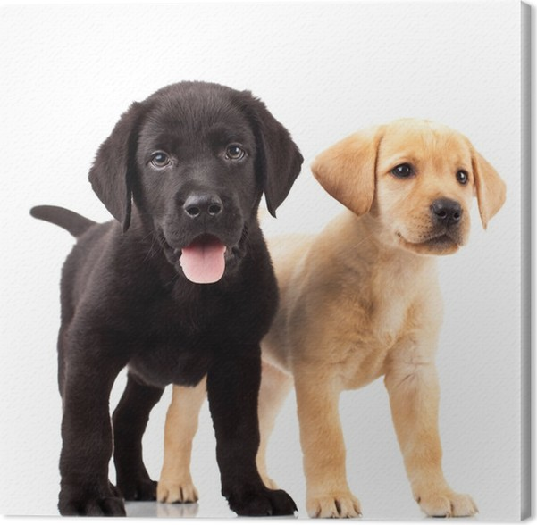 Obraz na plátně Dvě roztomilé labrador štěňata - Nálepka na stěny