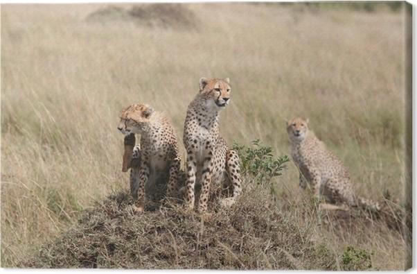 Obraz na plátně Gepardi - Savci