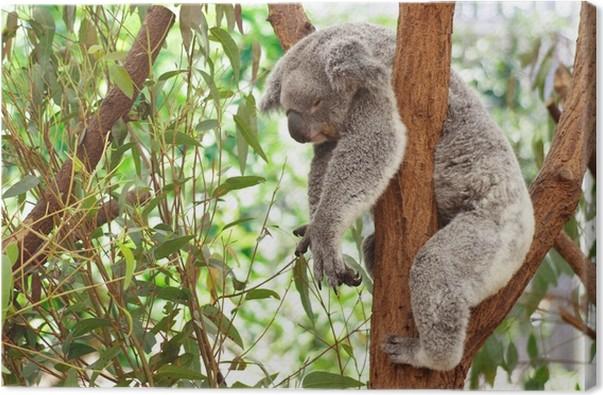 Obraz na plátně Koala - Témata