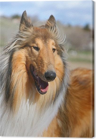 Obraz na plátně Kolie pes s otevřenými ústy funění - Savci