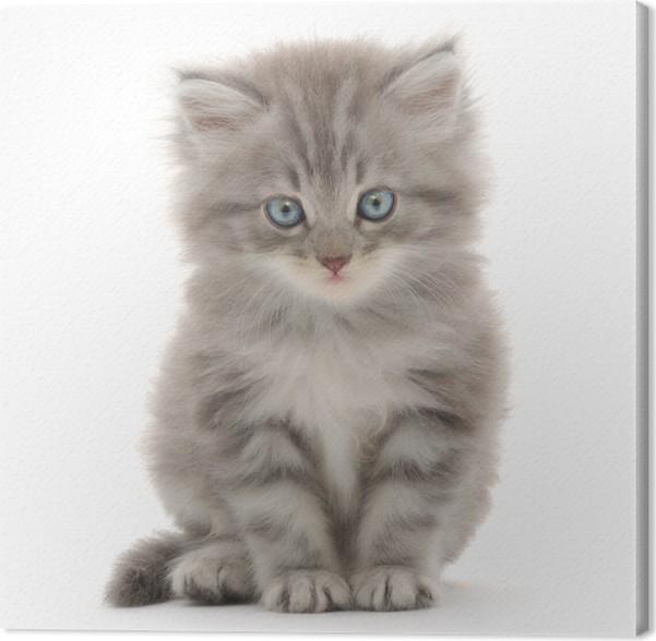 Obraz na plátně Kotě na bílém pozadí - Savci