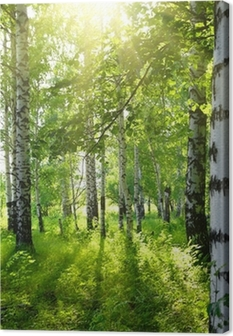 Obraz na plátně Lesy letní bříza se sluncem