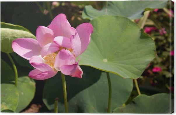 Obraz na plátně Lotus Blossom v Beihai Park, Peking - Asie