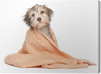 2706c72a15f Fototapeta Krásná čokoládová Havanský psík pes • Pixers® • Žijeme ...