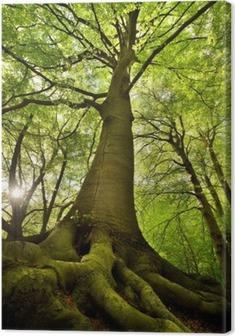 Obraz na Plátně Old Beech Tree