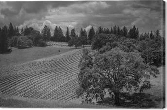Obraz na plátně Shake Ridge Ranch vinice