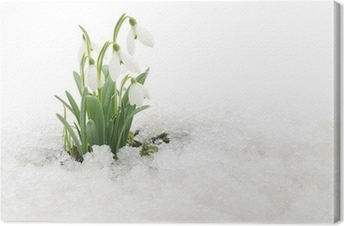 Obraz na plátně Sněženky a sníh