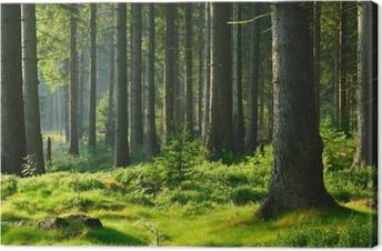 Obraz na plátně Unberührter naturnaher fichtenwald im warmen licht der morgensonne
