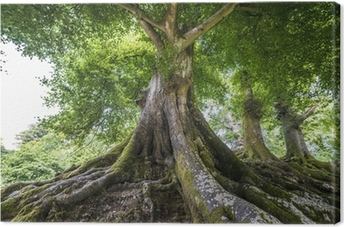 Obraz na Plátně Velký starý strom
