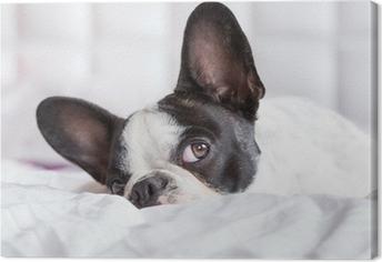 Obraz na płótnie Adorable Buldog francuski puppy leżącego w łóżku