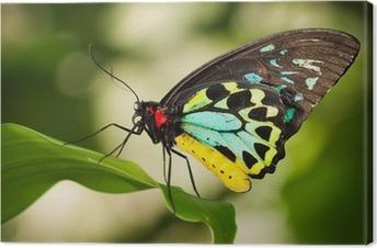 Obraz na płótnie Birdwing motyl
