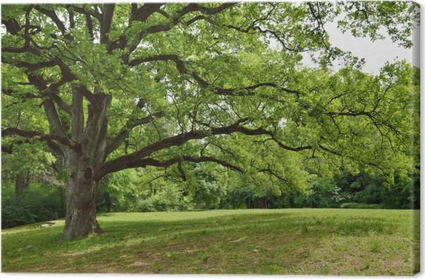 obraz na p�243tnie d�b drzewa w parku � pixers174 � Żyjemy by