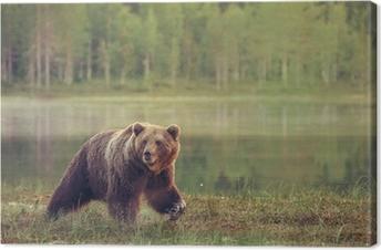 Obraz na płótnie Duży samiec niedźwiedzia spaceru w bagnie na zachodzie słońca