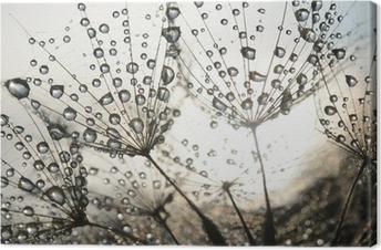 Obraz na płótnie Nasiona mniszka z kropli rosy